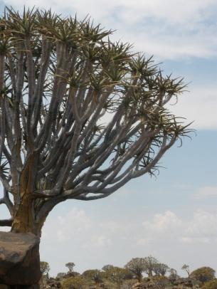 Köcherbaum