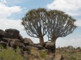 Der Köcherbaumwald
