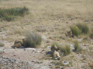 Löwen 3