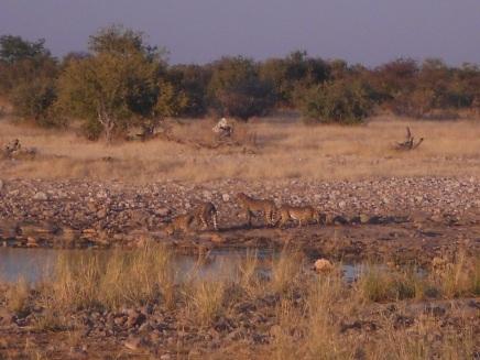 Entdeckt ihr die Leoparden?