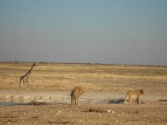 Wasserstelle_Löwe_Giraffe