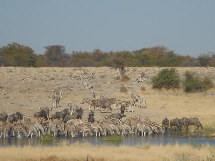 Wasserstelle_Zebras