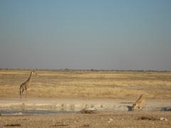 WasserstelleLöwe Giraffe